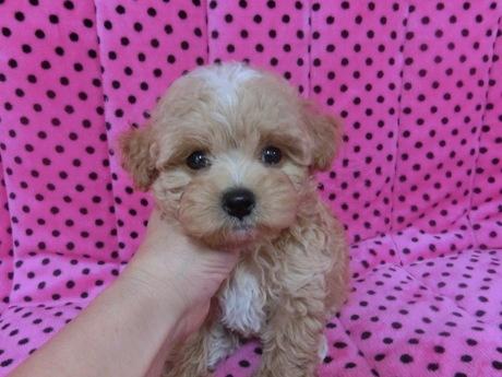 ミックスの子犬(ID:1245311078)の1枚目の写真/更新日:2017-06-09