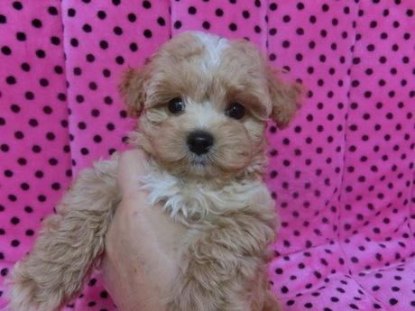 ミックスの子犬(ID:1245311078)の2枚目の写真/更新日:2017-06-09