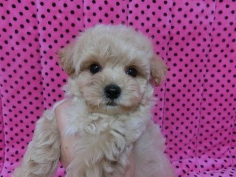 ミックスの子犬(ID:1245311079)の1枚目の写真/更新日:2017-06-09