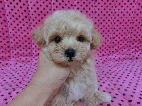ミックスの子犬(ID:1245311079)の2枚目の写真/更新日:2017-06-09