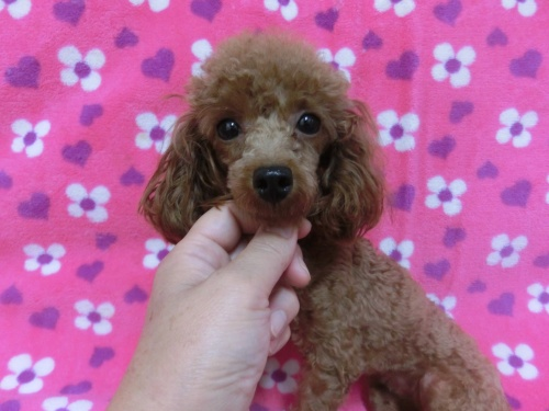 トイプードルの子犬(ID:1245311080)の1枚目の写真/更新日:2017-07-14