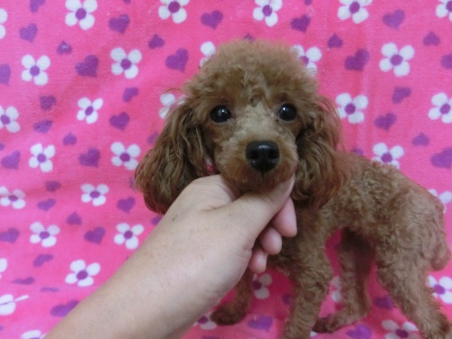 トイプードルの子犬(ID:1245311080)の2枚目の写真/更新日:2017-07-14