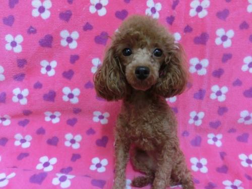 トイプードルの子犬(ID:1245311080)の3枚目の写真/更新日:2017-07-14
