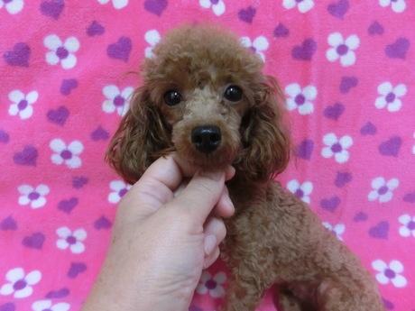 トイプードルの子犬(ID:1245311081)の1枚目の写真/更新日:2017-07-17