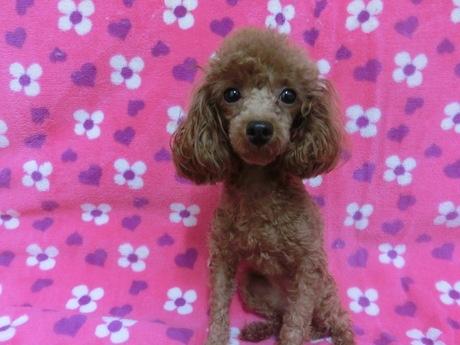 トイプードルの子犬(ID:1245311081)の3枚目の写真/更新日:2017-07-17