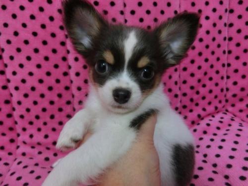 チワワ(ロング)の子犬(ID:1245311082)の1枚目の写真/更新日:2018-01-06