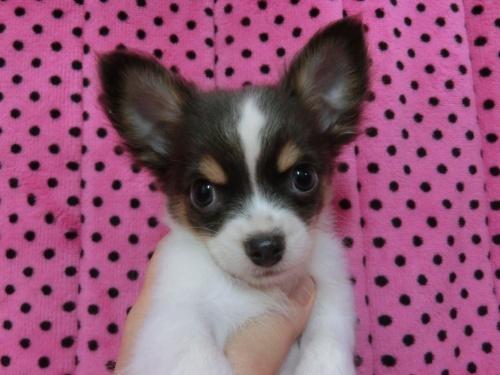 チワワ(ロング)の子犬(ID:1245311082)の2枚目の写真/更新日:2018-01-06