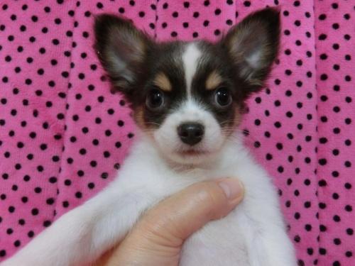 チワワ(ロング)の子犬(ID:1245311082)の3枚目の写真/更新日:2018-01-06