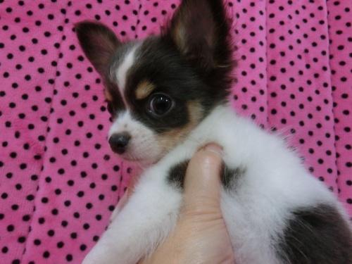 チワワ(ロング)の子犬(ID:1245311082)の4枚目の写真/更新日:2018-01-06
