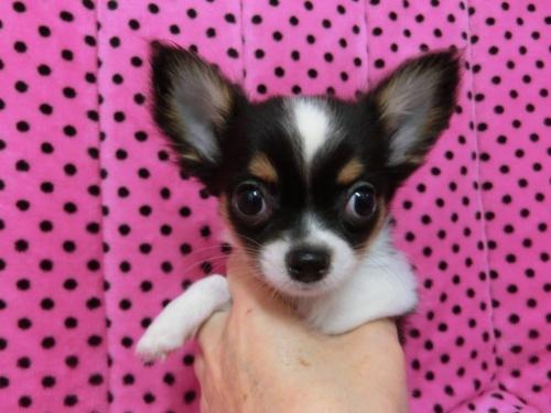 チワワ(ロング)の子犬(ID:1245311083)の1枚目の写真/更新日:2018-01-06