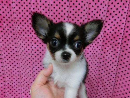 チワワ(ロング)の子犬(ID:1245311083)の2枚目の写真/更新日:2018-01-06