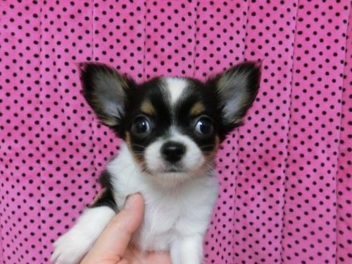 チワワ(ロング)の子犬(ID:1245311083)の3枚目の写真/更新日:2018-01-06