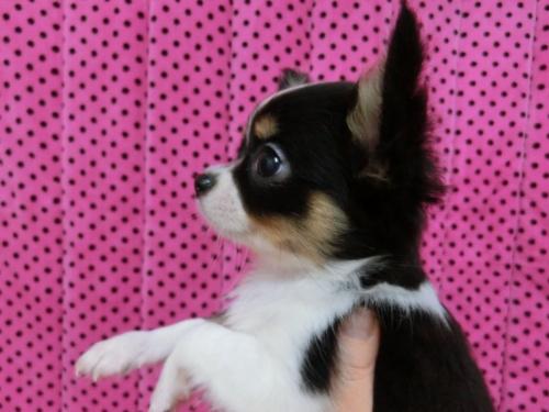 チワワ(ロング)の子犬(ID:1245311083)の4枚目の写真/更新日:2018-01-06