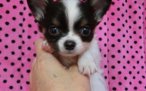 チワワ(ロング)の子犬(ID:1245311084)の1枚目の写真/更新日:2017-12-17