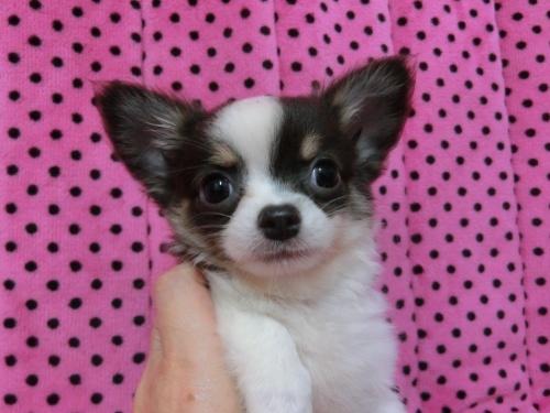 チワワ(ロング)の子犬(ID:1245311085)の1枚目の写真/更新日:2018-01-06