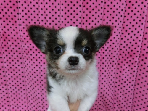 チワワ(ロング)の子犬(ID:1245311085)の2枚目の写真/更新日:2018-01-06