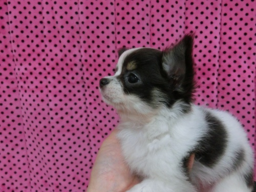 チワワ(ロング)の子犬(ID:1245311085)の4枚目の写真/更新日:2018-01-06