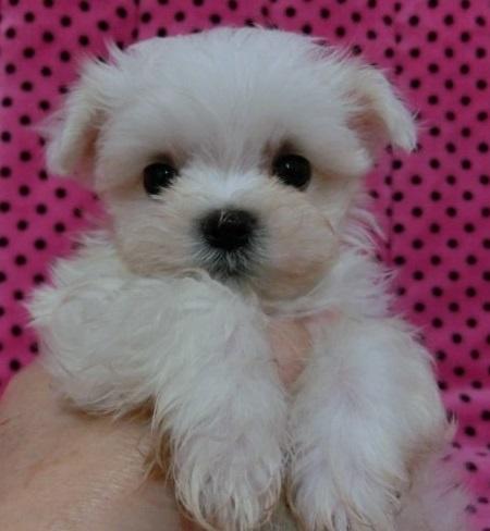 マルチーズの子犬(ID:1245311087)の1枚目の写真/更新日:2018-03-14