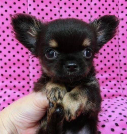 チワワ(ロング)の子犬(ID:1245311088)の1枚目の写真/更新日:2018-04-02