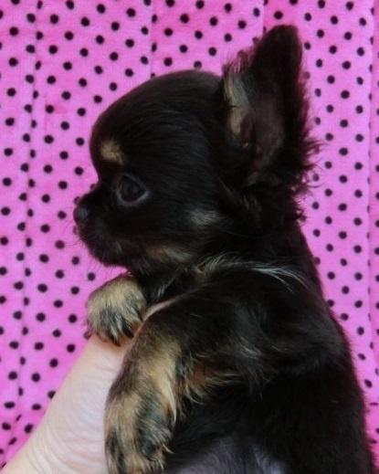 チワワ(ロング)の子犬(ID:1245311088)の3枚目の写真/更新日:2018-04-02