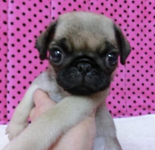パグの子犬(ID:1245311089)の1枚目の写真/更新日:2018-04-09