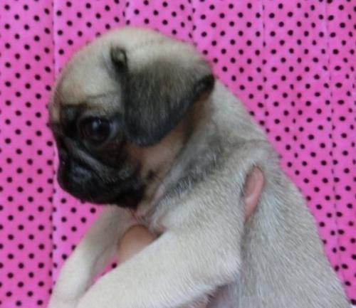 パグの子犬(ID:1245311089)の2枚目の写真/更新日:2018-04-09