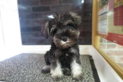 ミニチュアシュナウザーの子犬(ID:1245411035)の1枚目の写真/更新日:2017-05-06