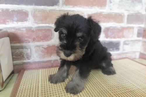 ミニチュアシュナウザーの子犬(ID:1245411040)の1枚目の写真/更新日:2017-07-11