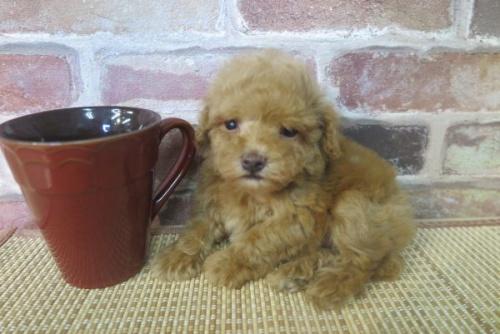 トイプードルの子犬(ID:1245411041)の1枚目の写真/更新日:2017-07-26