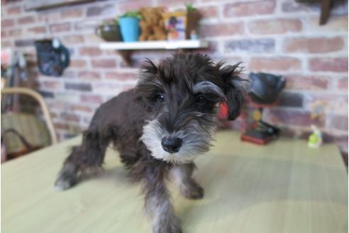 ミニチュアシュナウザーの子犬(ID:1245411044)の1枚目の写真/更新日:2018-02-05