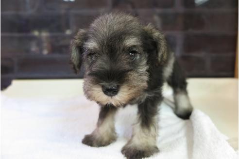 ミニチュアシュナウザーの子犬(ID:1245411046)の1枚目の写真/更新日:2018-04-30