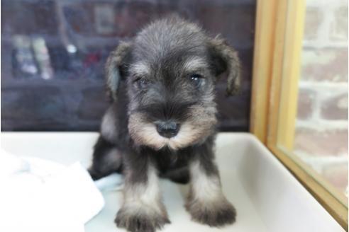 ミニチュアシュナウザーの子犬(ID:1245411047)の1枚目の写真/更新日:2018-05-15