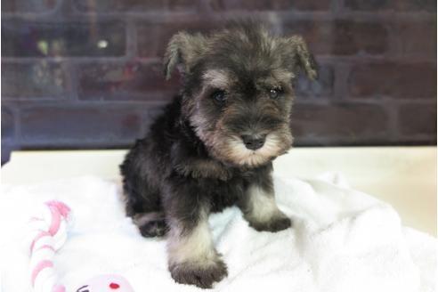 ミニチュアシュナウザーの子犬(ID:1245411048)の1枚目の写真/更新日:2018-04-30
