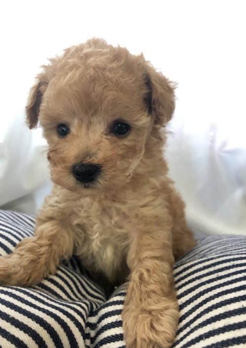 トイプードルの子犬(ID:1245611008)の1枚目の写真/更新日:2020-09-09