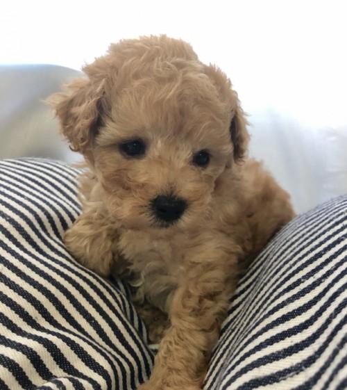 トイプードルの子犬(ID:1245611008)の2枚目の写真/更新日:2020-09-09