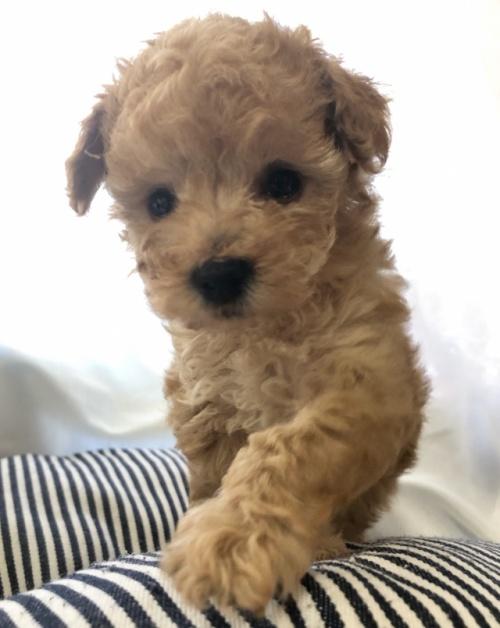 トイプードルの子犬(ID:1245611008)の3枚目の写真/更新日:2020-09-09