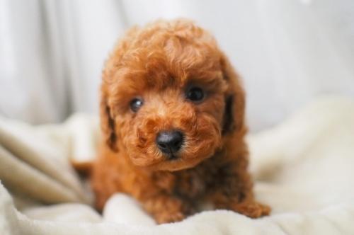 トイプードルの子犬(ID:1245611010)の1枚目の写真/更新日:2021-06-28