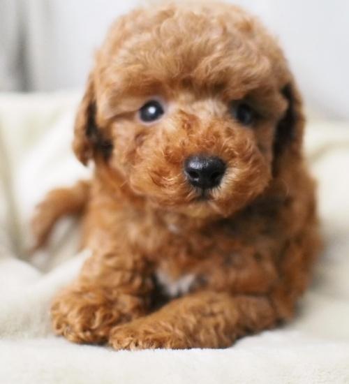 トイプードルの子犬(ID:1245611010)の2枚目の写真/更新日:2021-06-28