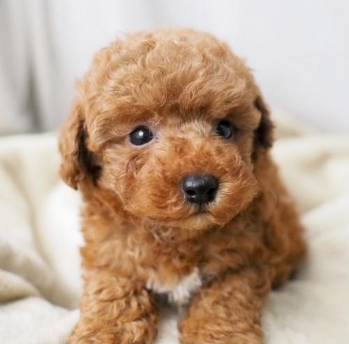 トイプードルの子犬(ID:1245611010)の3枚目の写真/更新日:2021-06-28