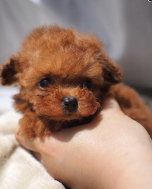 トイプードルの子犬(ID:1245611017)の1枚目の写真/更新日:2021-04-09