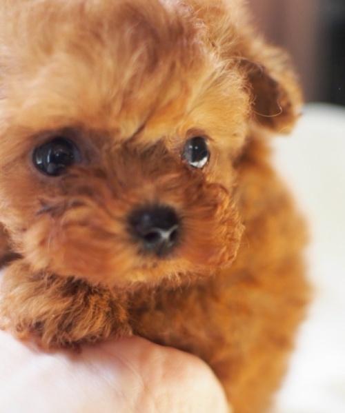 トイプードルの子犬(ID:1245611017)の2枚目の写真/更新日:2021-04-09