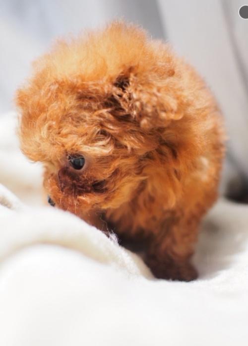 トイプードルの子犬(ID:1245611017)の3枚目の写真/更新日:2021-04-09