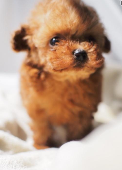 トイプードルの子犬(ID:1245611017)の4枚目の写真/更新日:2021-04-09