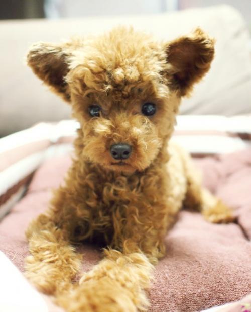 トイプードルの子犬(ID:1245611031)の1枚目の写真/更新日:2017-05-16