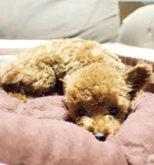 トイプードルの子犬(ID:1245611031)の2枚目の写真/更新日:2017-02-08