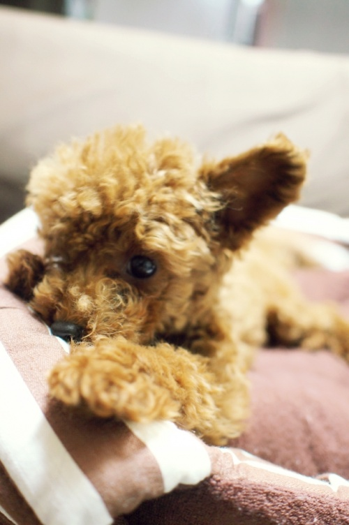 トイプードルの子犬(ID:1245611031)の3枚目の写真/更新日:2017-06-12