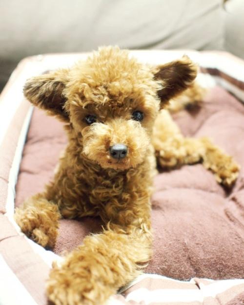 トイプードルの子犬(ID:1245611031)の4枚目の写真/更新日:2017-06-12