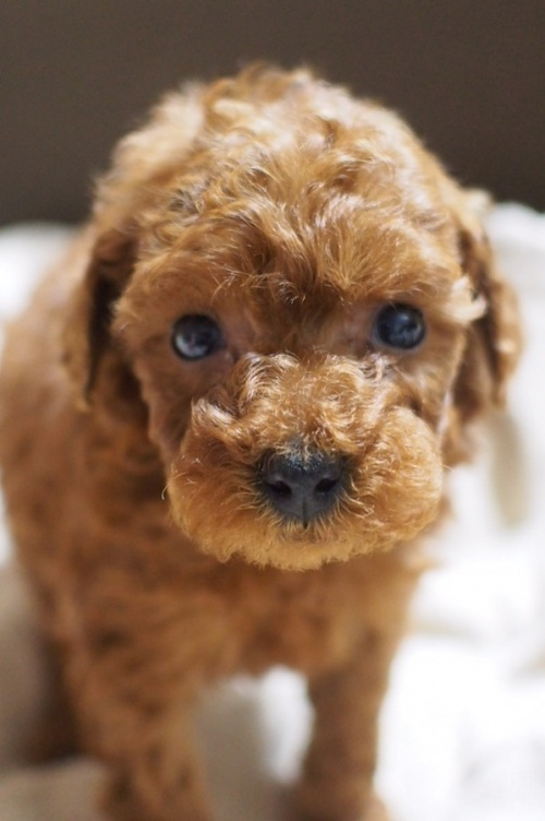 トイプードルの子犬(ID:1245611032)の1枚目の写真/更新日:2017-04-24