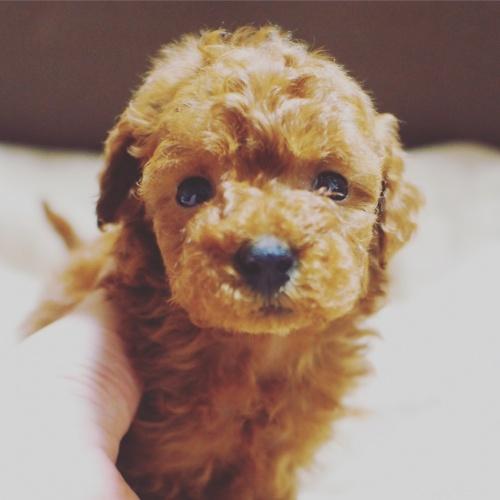 トイプードルの子犬(ID:1245611032)の3枚目の写真/更新日:2017-04-24
