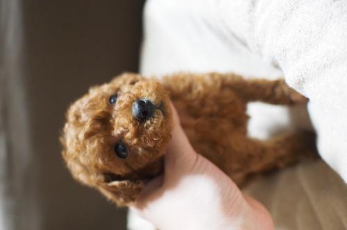 トイプードルの子犬(ID:1245611032)の4枚目の写真/更新日:2017-04-24